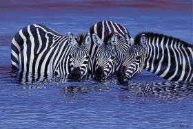 Tomax Zebras in the Water 1000 Piece Jigsaw Puzzle