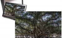 Photo-Jigsaw-Puzzle-of-Banyan-tree-Lahaina-Maui-Hawaii-United-States-of-America-Pacific-26.jpg